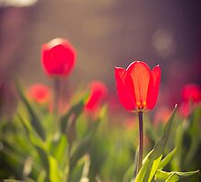 Tulips in May by Chelsey LeBlanc