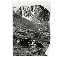 Yaks grazing in the Mongolian landscape. Poster