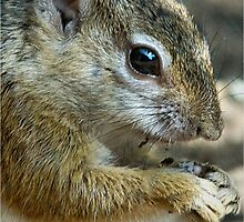 UP CLOSE - THE TREE SQUIRREL – Paraxerus cepapi  by Magaret Meintjes