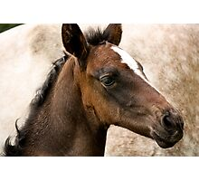 Andalusian Colt  Photographic Print
