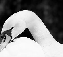 A black and white fine art photograph of a white mute swan by GaryNeilCorbett