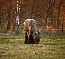 Belgian Draft Horse - Sunset by Cynthia Swinnen