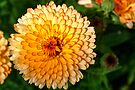 Yellow-Orange Calendula by Roger Passman