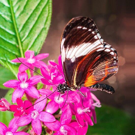 Butterfly on Pink Penta Flowers by Anita Pollak