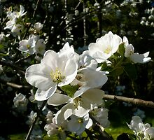 Apple Blossoms by Jess Meacham