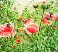 Vintage Poppies by Vitta
