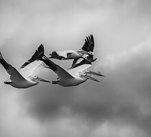 Pelicans In Flight by Thomas Young