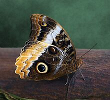 Yellow-edged Giant Owl Butterfly by DebiDalio