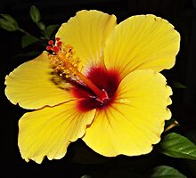 Happy Hibiscus by Barbny