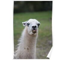 funny llama Poster