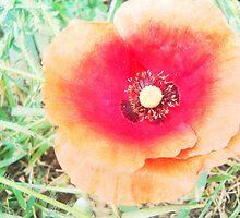 Vintage Poppy by Vitta
