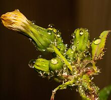 waterdrops and Aphids by stresskiller