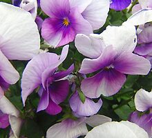 Purple And White Pansies by James Brotherton