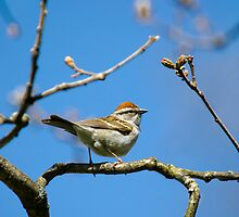 Chipping Sparrow Perched In A Tree by Christina Rollo