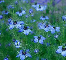 Nigella blue by Anne  RENARD