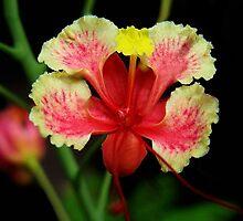 Caesalpinia pulcherrima - Peacock Flower-Picture/Card by ✿✿ Bonita ✿✿ ђєℓℓσ