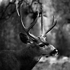 Yosemite Deer by possumhollow