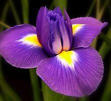 Iris Opening by AnnDixon
