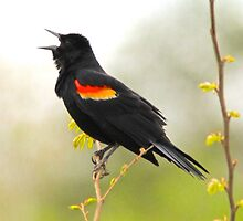 Red Wing Blackbird singing its heart out by NatureGreeting Cards ©ccwri