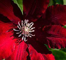 Red Clematis by Melissa Yukura