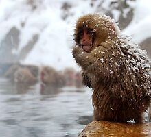 Snow monkey by Tammy Tan