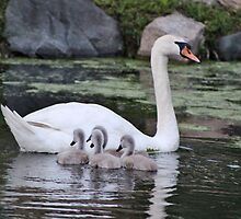 Mute Swan and her Cygnets by Gilda Axelrod