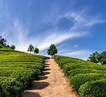 Standing in the green tea field by aaronchoi