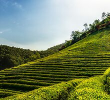 Endless green tea fields by aaronchoi