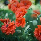 Poppy Madness by Carrie Cole
