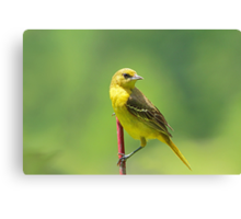 Mrs. Orchard Oriole Canvas Print