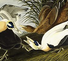 Eider Duck, Male and Female by Bridgeman Art Library