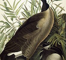 Canada Goose by Bridgeman Art Library