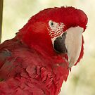 62 red macaw by pcfyi
