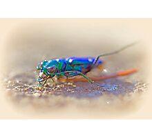Six-Spotted Tiger Beetle - Cicindela sexguttata Photographic Print