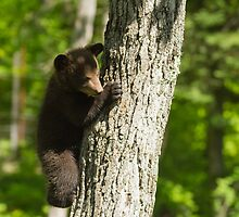 A Black Bear cub in a tree by Josef Pittner