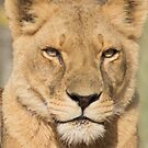 62 lioness by pcfyi