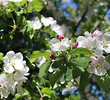 Apple Blossoms II  2014 by prettymeadow