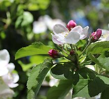 Apple Blossoms III  2014 by prettymeadow