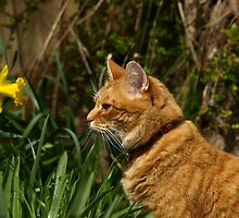 Ginger cat in garden with daffodil by turniptowers