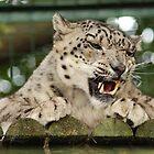 Snow leopard by woolcos