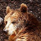 Bear's portrait  by annalisa bianchetti