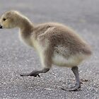 Canada goose gosling by Gill Langridge