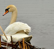swan by IryshkaR