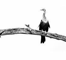 High Key Anhinga by PeaceInArt