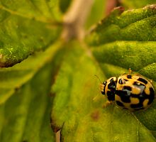 yellow ladybug on strawberry plant by stresskiller