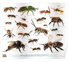 Beautiful Bees of Eastern North America Poster