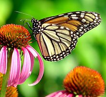 splendid orange and white spotted butterfly on purple flower by Beth BRIGHTMAN