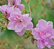 Pink Azalea 2 by Carolyn Clark