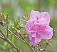Pink Azalea 3 by Carolyn Clark