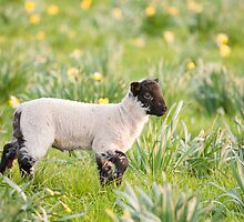 Lamb in daffodils by Christopher Cullen